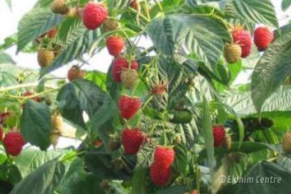 Elohim planten bio  - Framboos