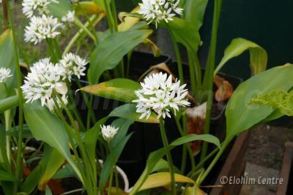 Elohim planten bio - Daslook