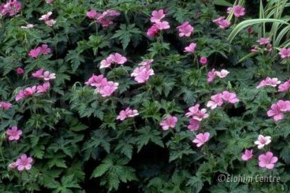Elohim planten bio  - Ooievaarsbek - Geranium