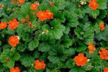 Elohim planten bio - Geum, Nagelkruid