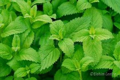Elohim planten bio  - Munt