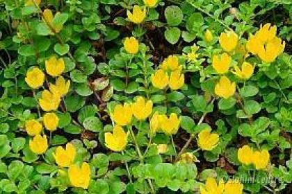 Elohim planten bio - Penningkruid