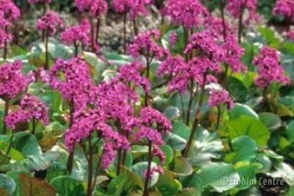 Elohim planten bio  - Schoenlappersplant
