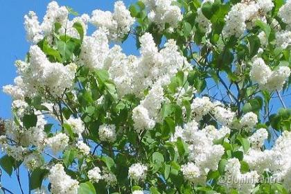Elohim planten bio  - Witte Sering