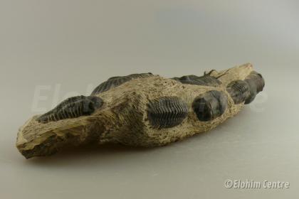 Trilobiet fossiel - Cetaceanen