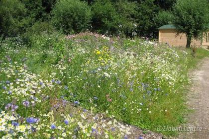 Elohim planten bio  - Wilde bloemen zaad mix