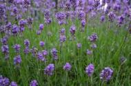 7724-lavendel.jpg